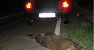 TEANO – Auto contro cinghiale, paura sulla statale Casilina