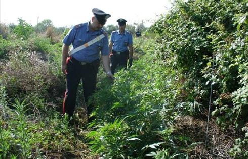 coltivazione-droga-marijuana31