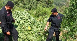 Sessa Aurunca – Fingevano di coltivare pesche ma curavano marijuana: tre arrestati. C'è anche un sessano